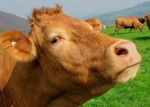 Pasture-raised Cow